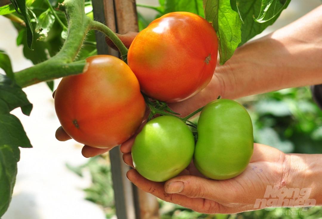 Thu trăm triệu đồng mỗi tháng từ vườn cà chua trồng trên giá thể